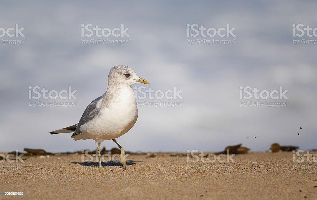 Mew Gull stock photo