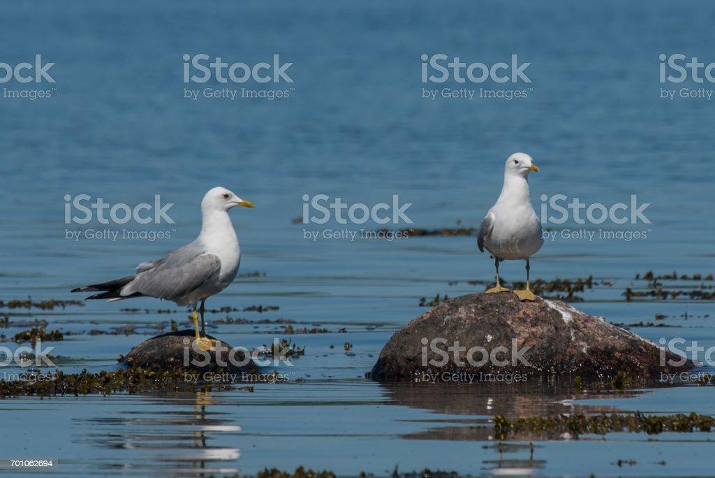 Mew gulls stock photo