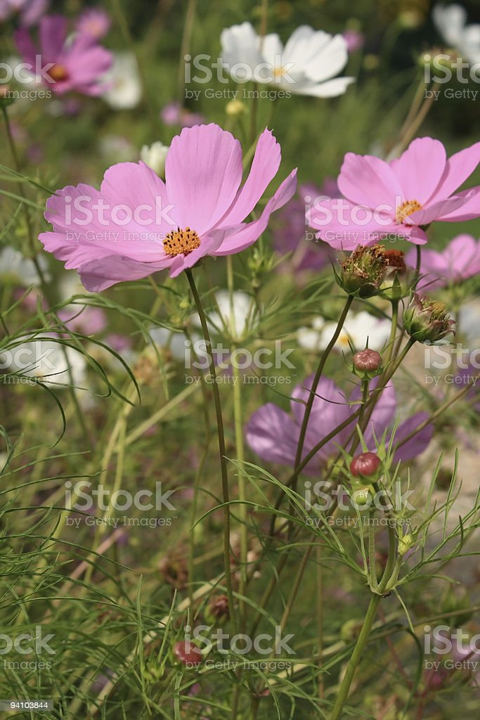 Mexican aster (Cosmos bipinnatus) royalty-free stock photo