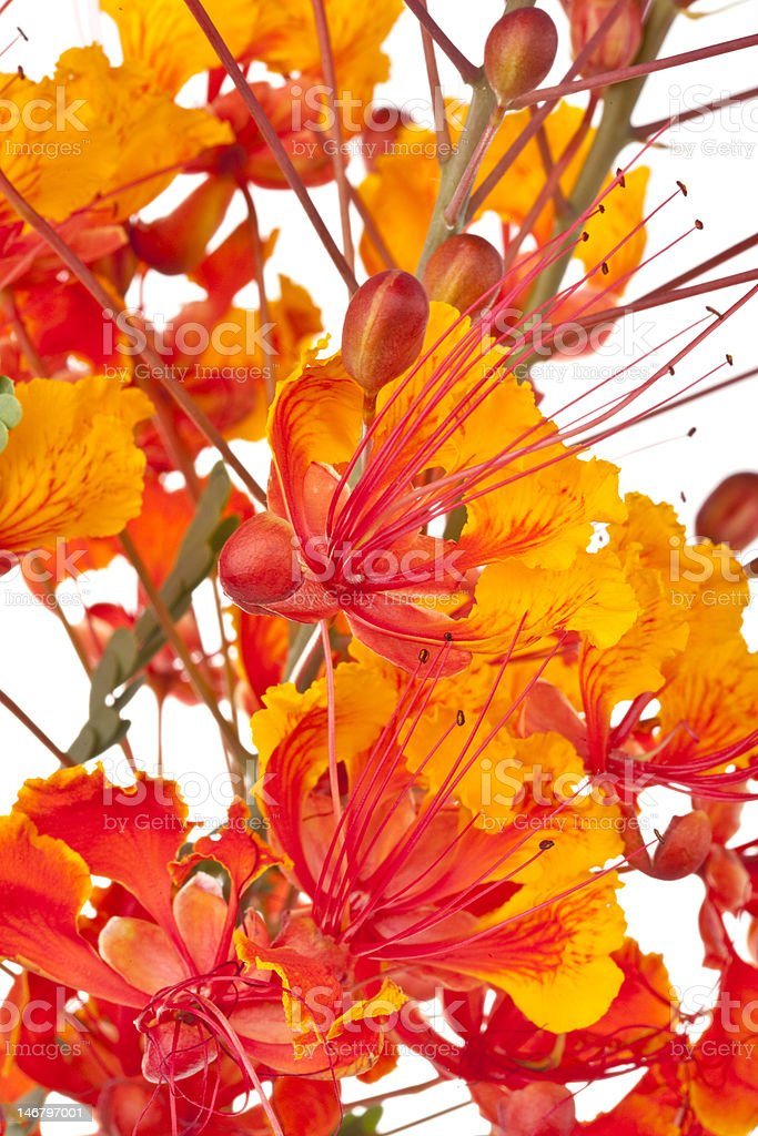 Mexican Bird of Paradise (Caesalpinia   pulcherrima) flower stock photo