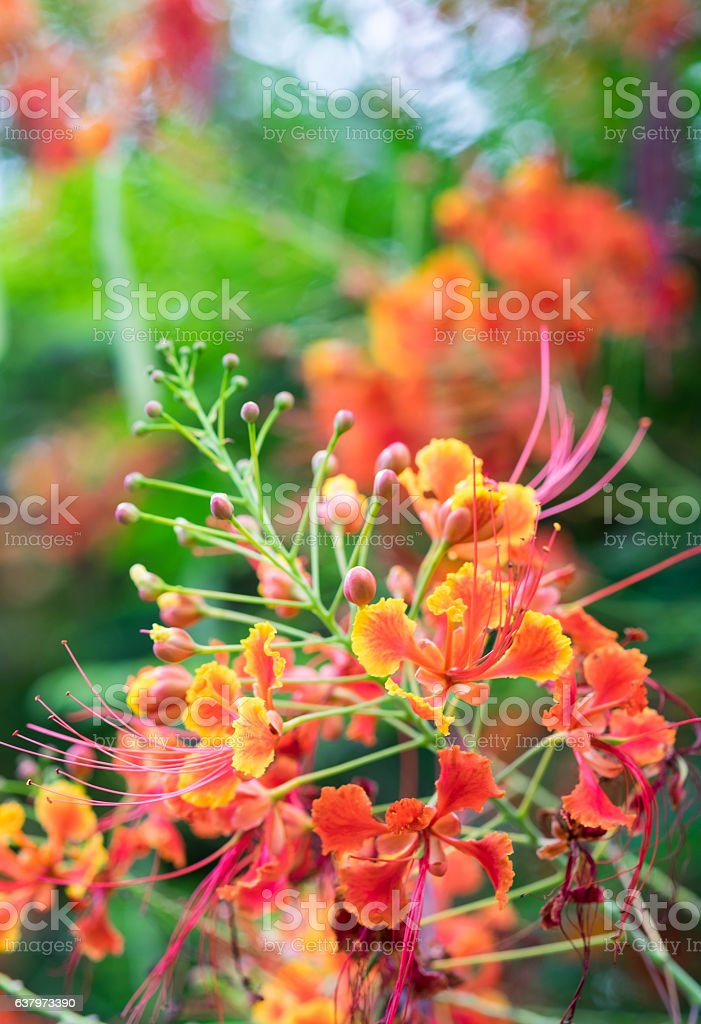 Mexican bird of paradise flower,Peacock's crest,Caesalpinia pulc stock photo