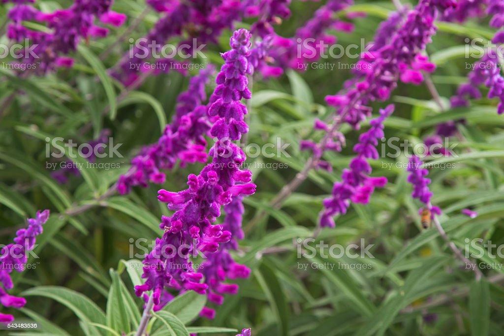 Mexican bush sage flowers (Salvia leucantha) in purple shade stock photo