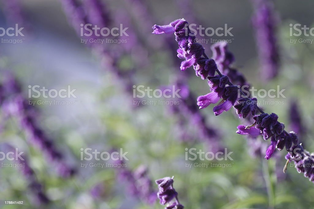 mexican bush sage stock photo