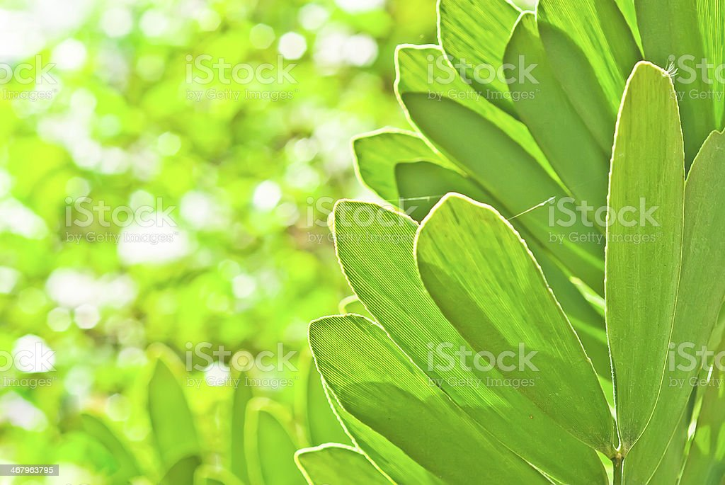 Mexican Cycad stock photo