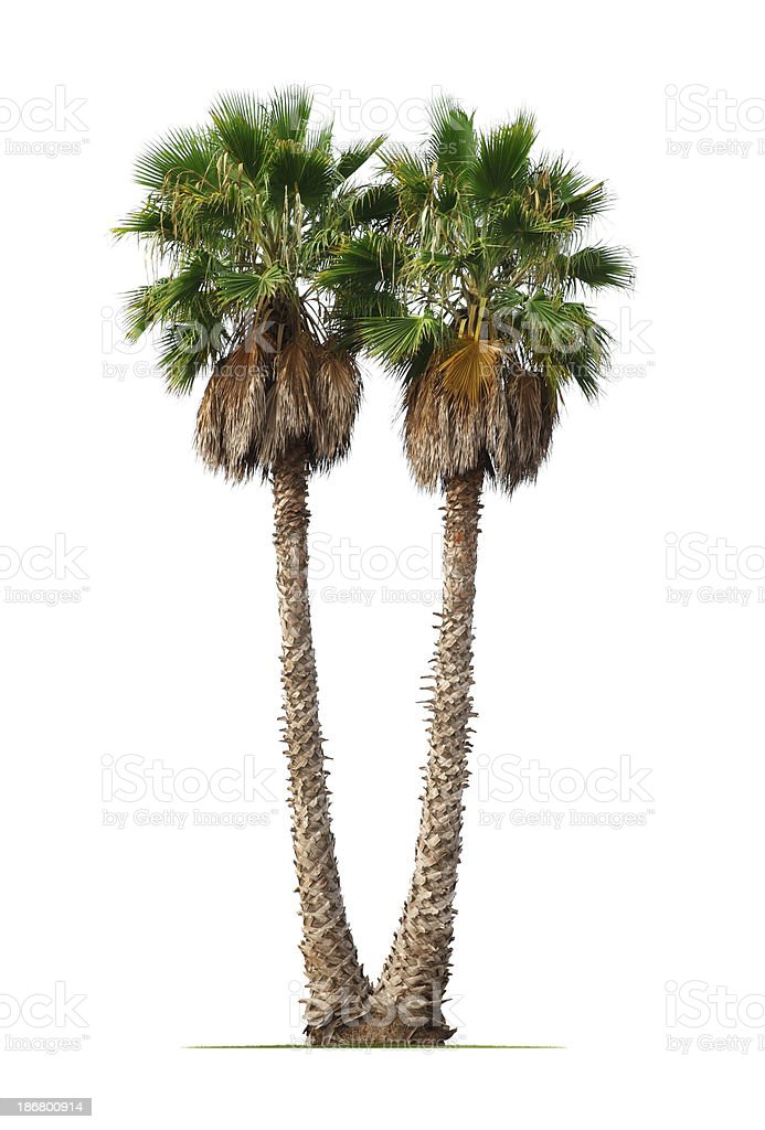 Mexican Fan Palms stock photo