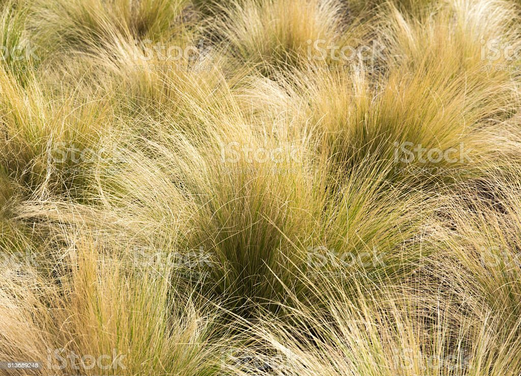 Mexican Feather Grass in the Sunlight stock photo