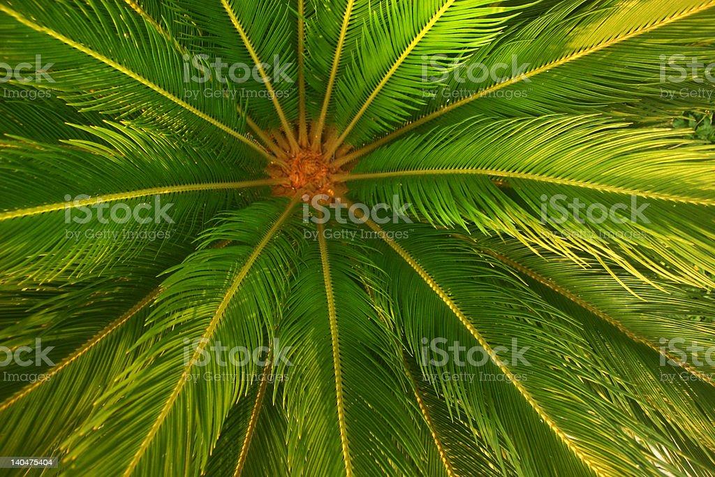 Mexican Fern Palm, Mazatlan MEX royalty-free stock photo