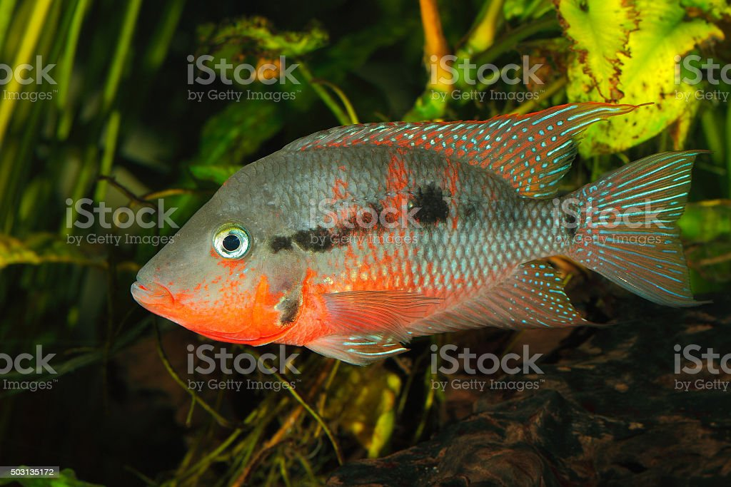 Mexican Fire Mouth (Thorichthys meeki) stock photo