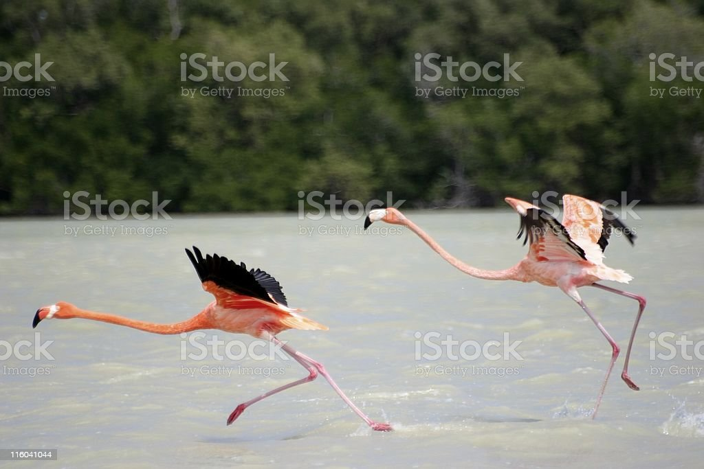 mexican flamingo royalty-free stock photo