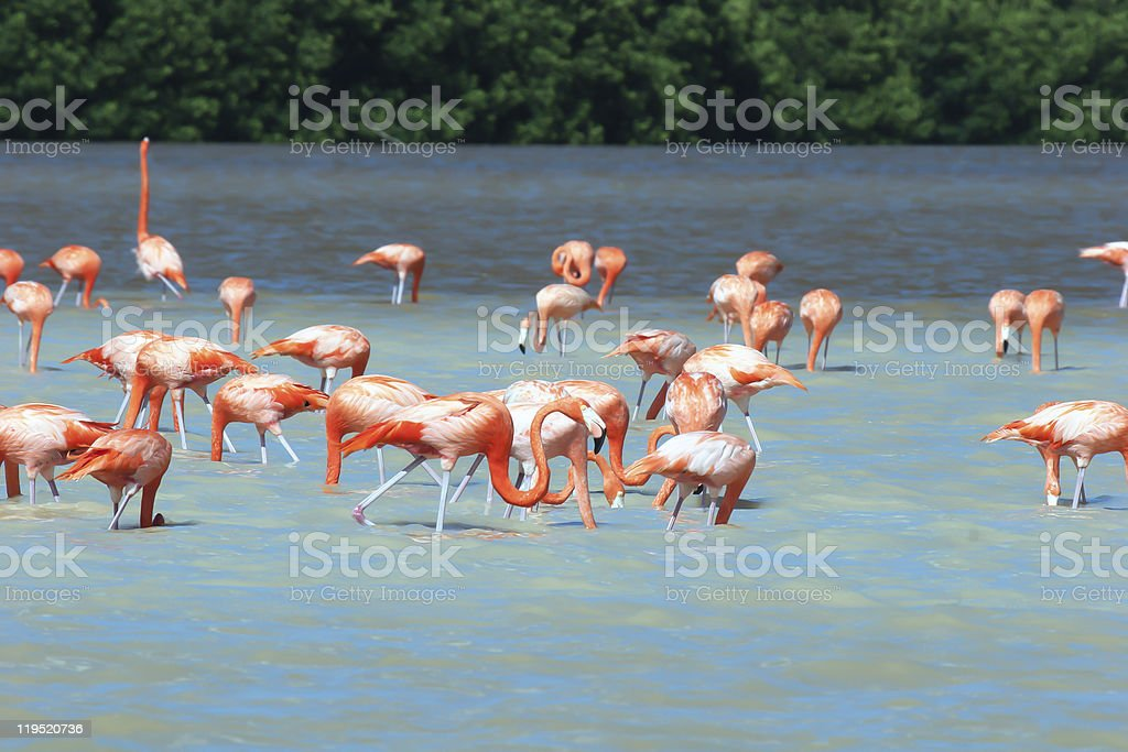 Mexican flamingoe wade in lagoon and feed stock photo
