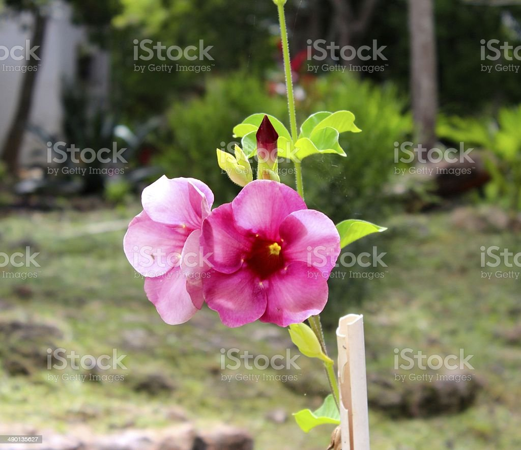 Mexican flower royalty-free stock photo