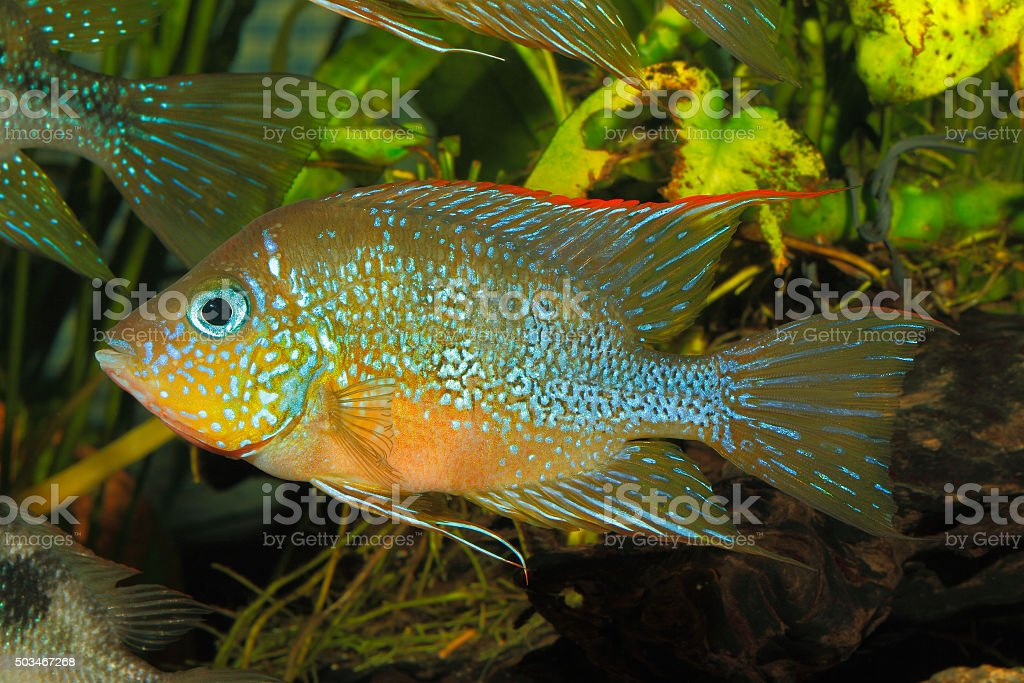 Mexican gold cichlid (Thorichthys aureus) stock photo