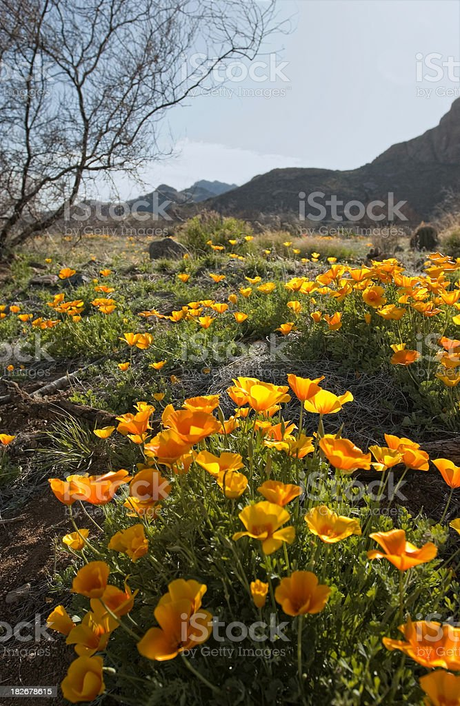 Mexican Golden Poppies on trail stock photo
