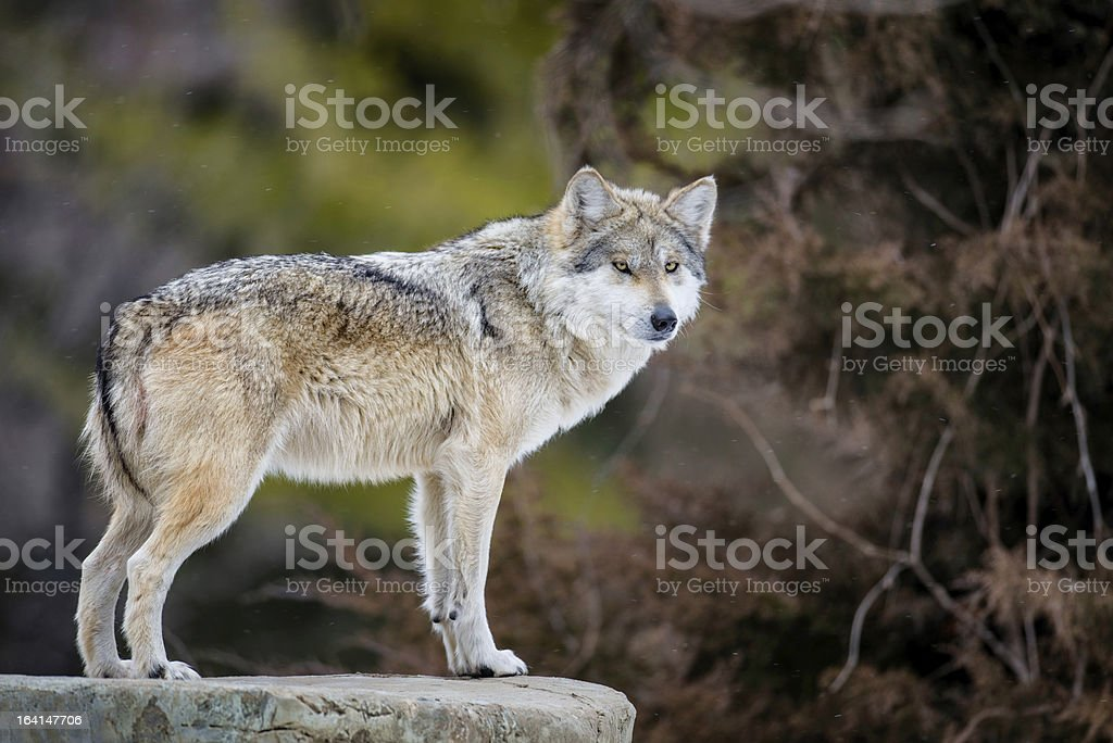 Mexican gray wolf royalty-free stock photo