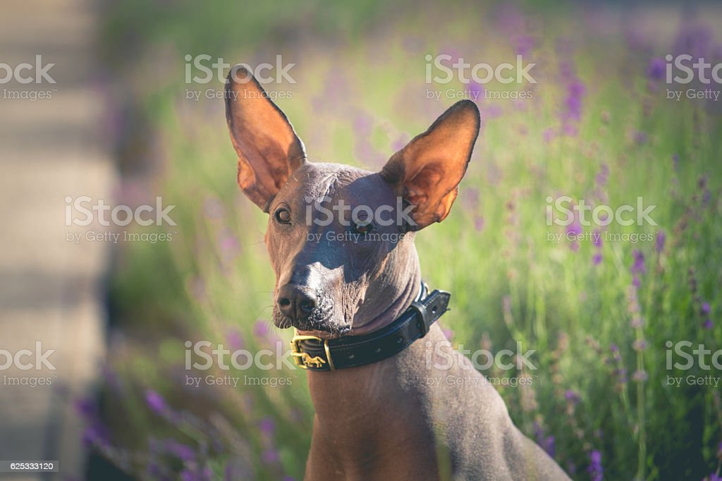 Mexican Hairless brown dog with big ears sits in lavender. stock photo