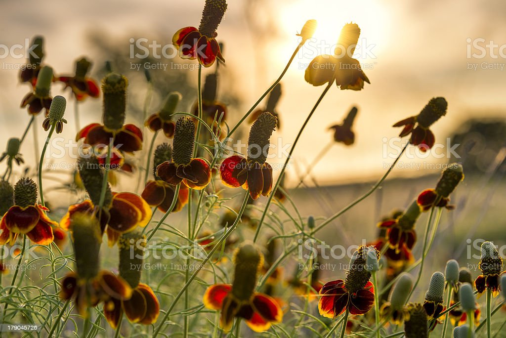 Mexican Hat Wildflowers royalty-free stock photo