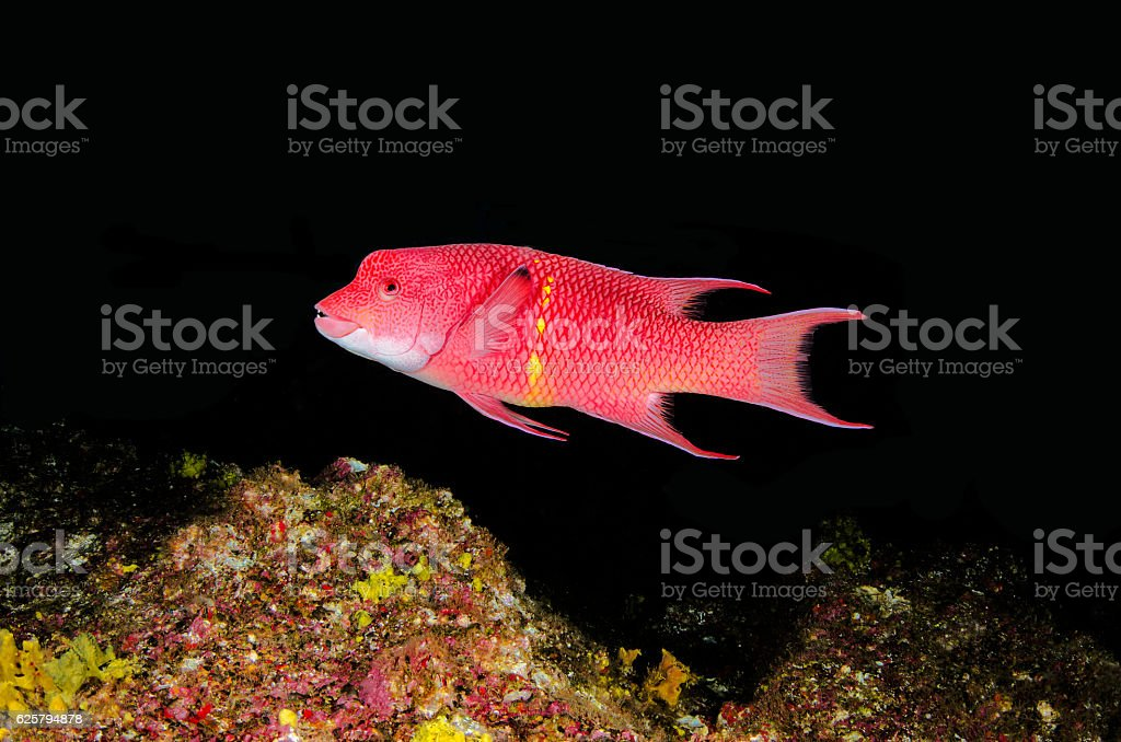 Mexican hogfish stock photo