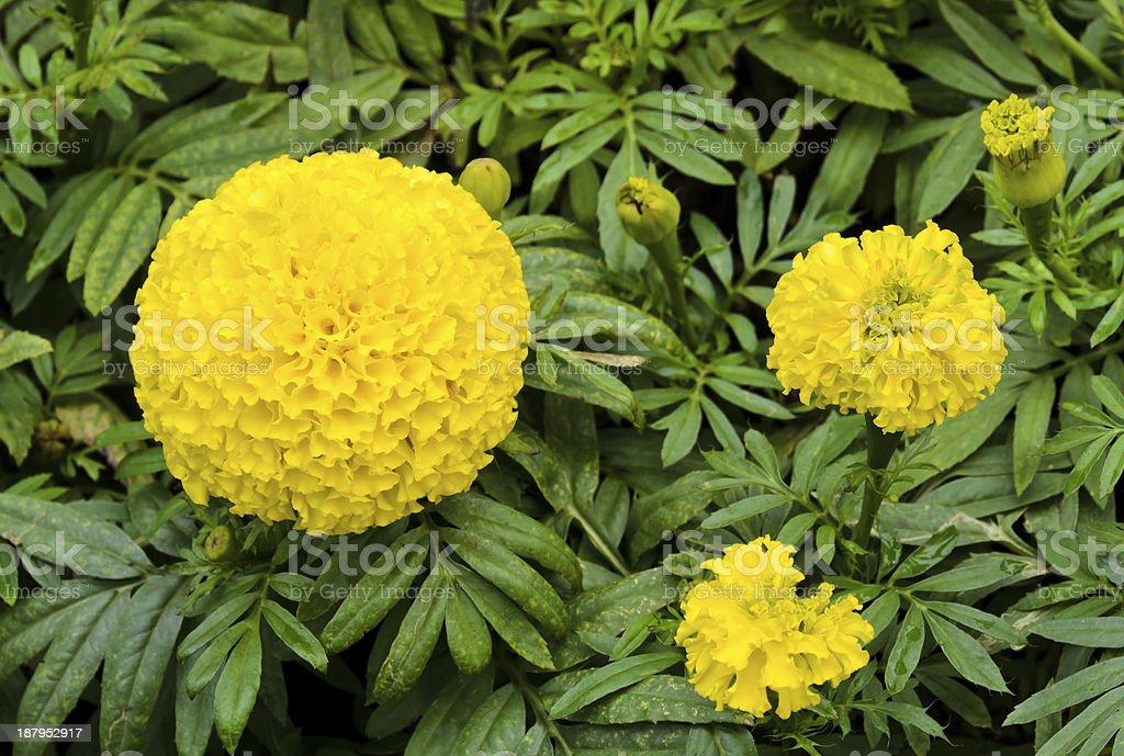 Mexican marigold blossom royalty-free stock photo