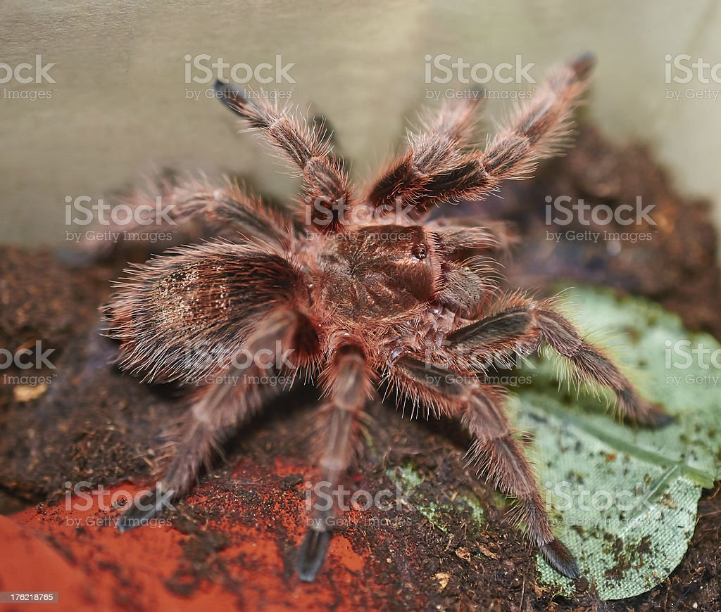 Mexican orange tarantula spider royalty-free stock photo