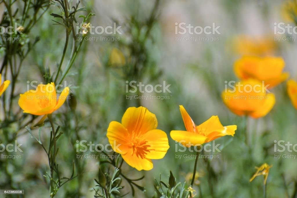 Mexican Poppies in the Desert stock photo