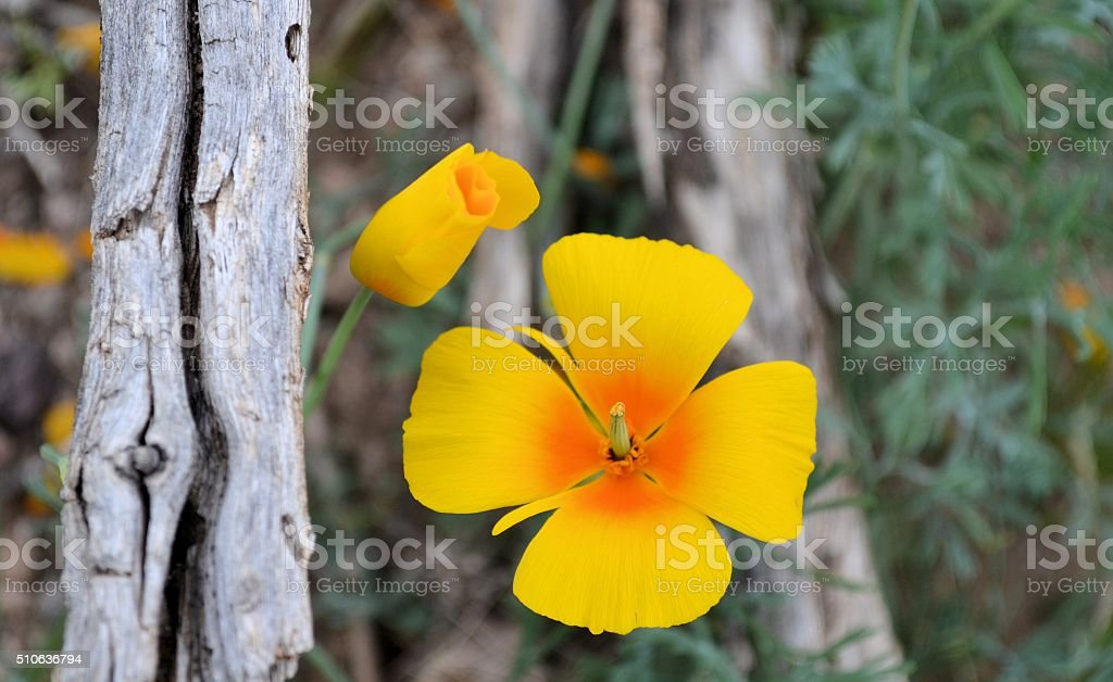 Mexican Poppy and Bud stock photo