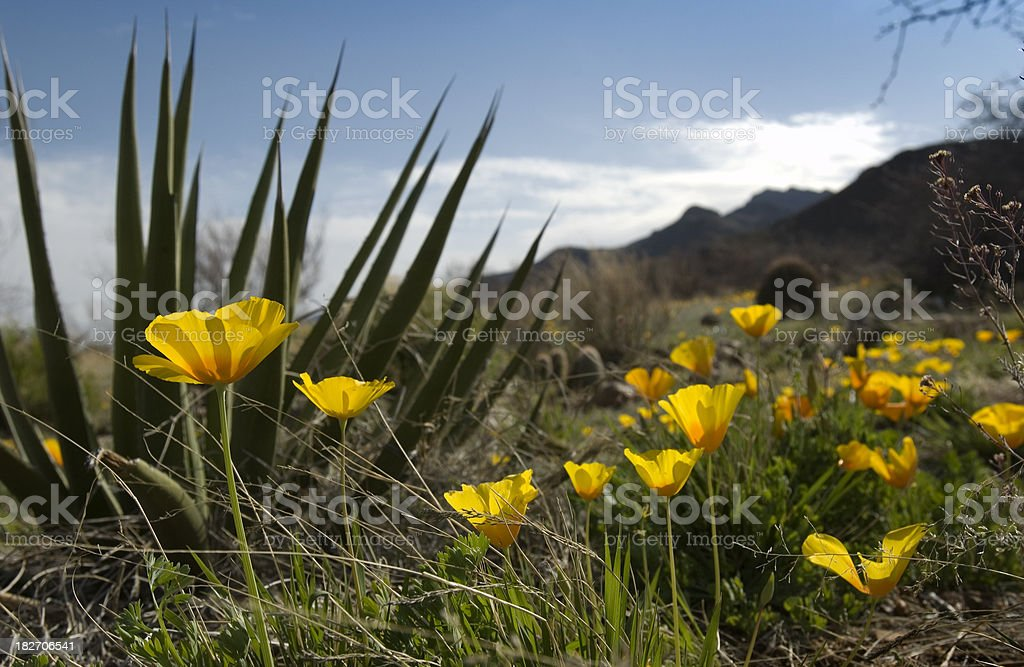 Mexican Poppy flower_Spanish Dagger Yucca royalty-free stock photo