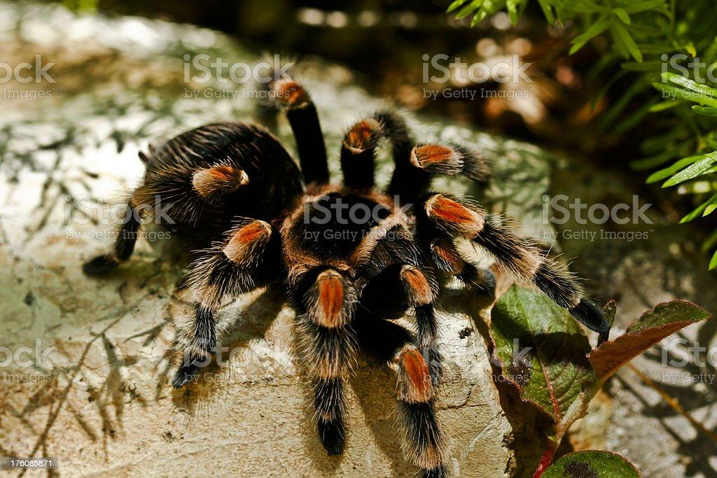 Mexican Red Kneed Tarantula stock photo
