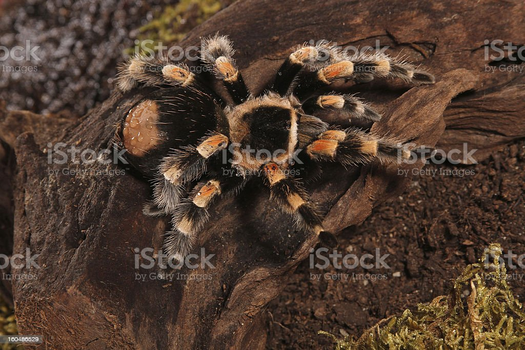 Mexican Redknee spider stock photo