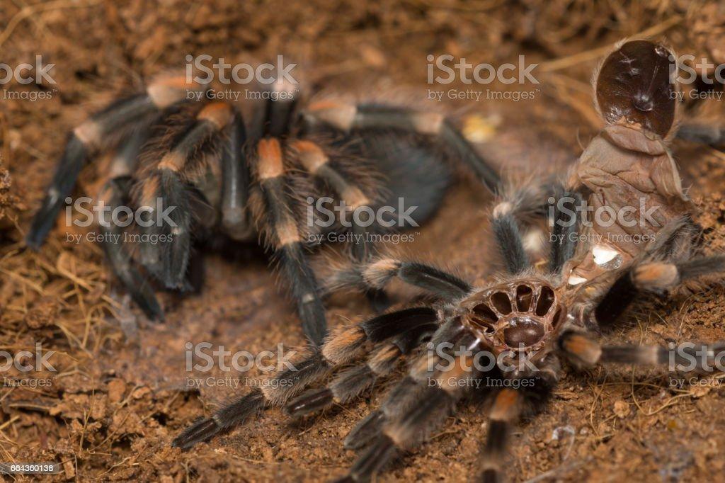 Mexican redknee tarantula shedding it's skin, Brachypelma smithi stock photo