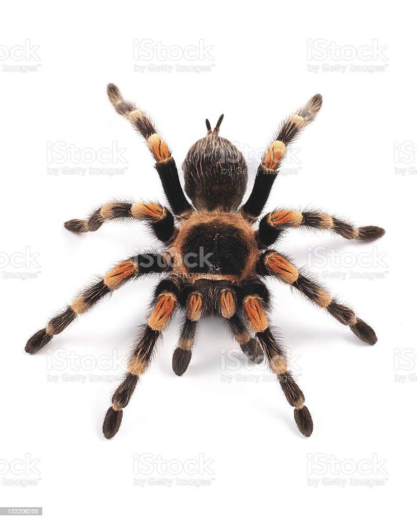 Mexican redknee tarantula (Brachypelma smithi), spider female stock photo