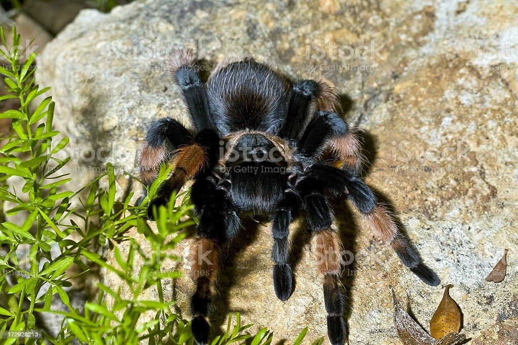 Mexican Redleg Tarantula stock photo