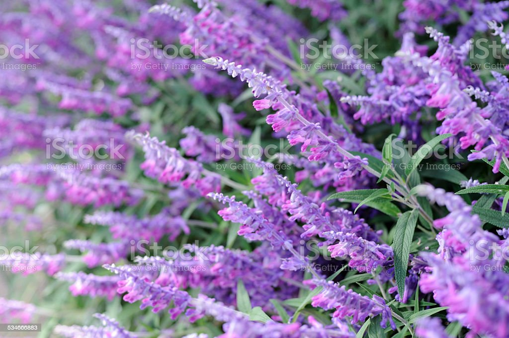 Mexican Sage stock photo