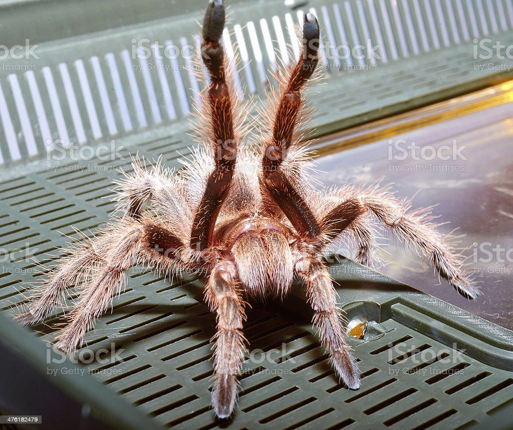 Mexican spider tarantula macro. royalty-free stock photo