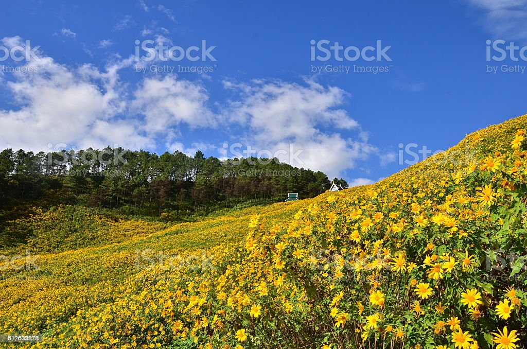 Mexican sunflower fields stock photo