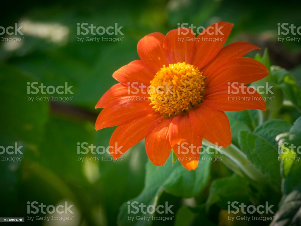 Mexican sunflower in bloom stock photo