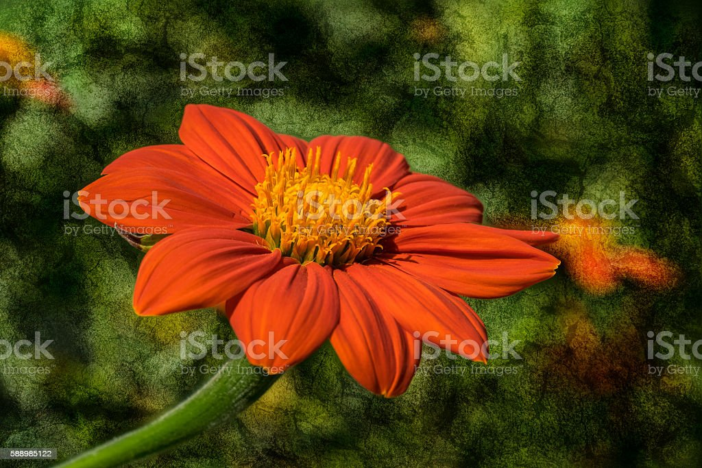 Mexican Sunflower on textured background stock photo
