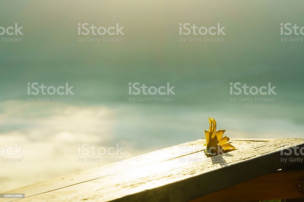 Mexican Sunflower with light impact on the wood table stock photo