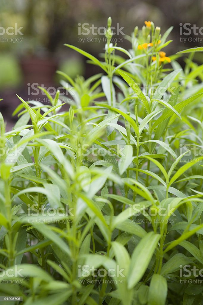 Mexican Tarragon stock photo
