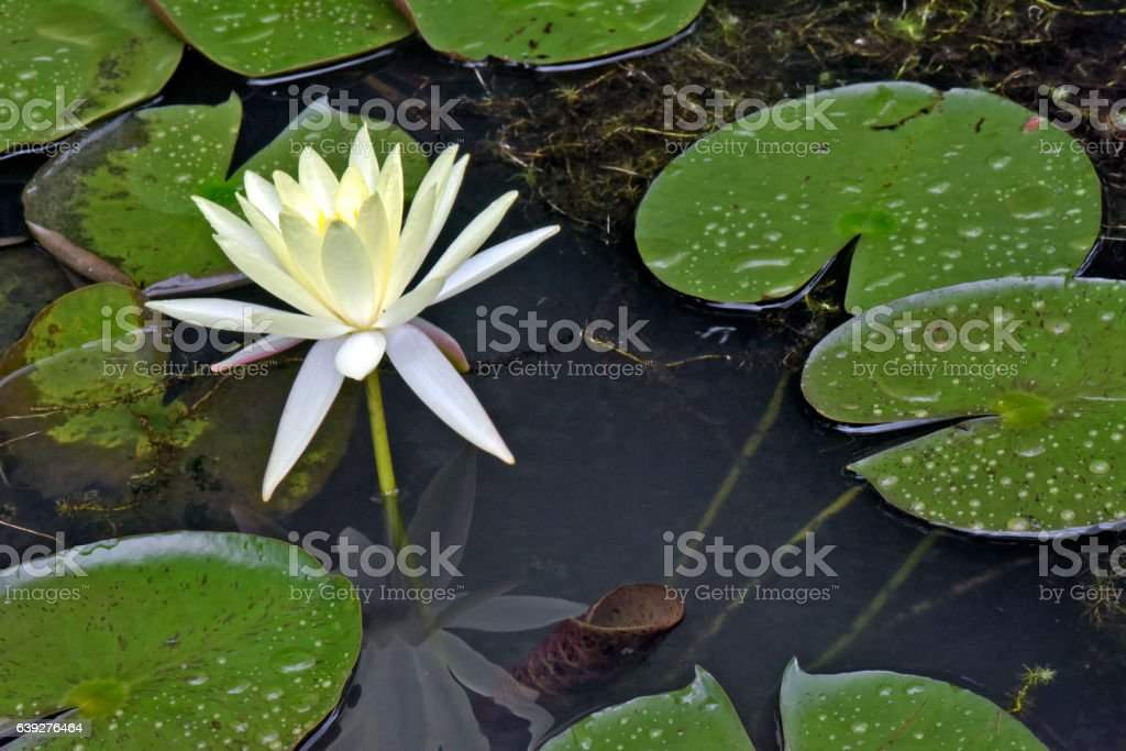 Mexican waterlily flowered in the middle of the lake stock photo