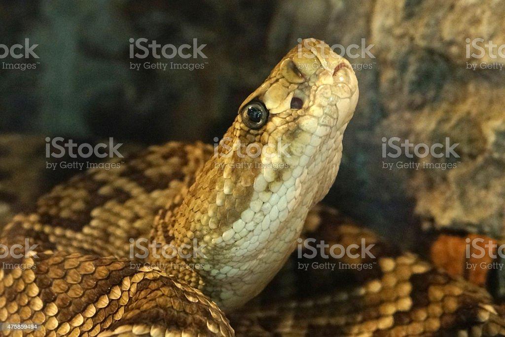 Mexican west coast rattlesnake stock photo