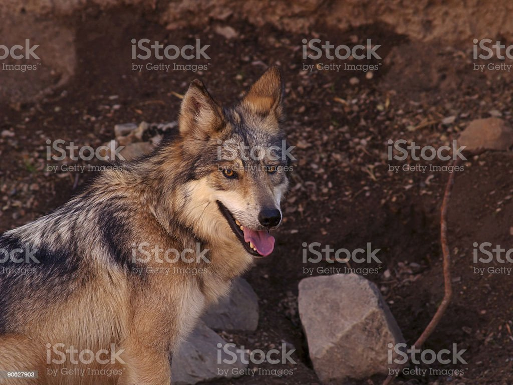 Mexican Wolf stock photo