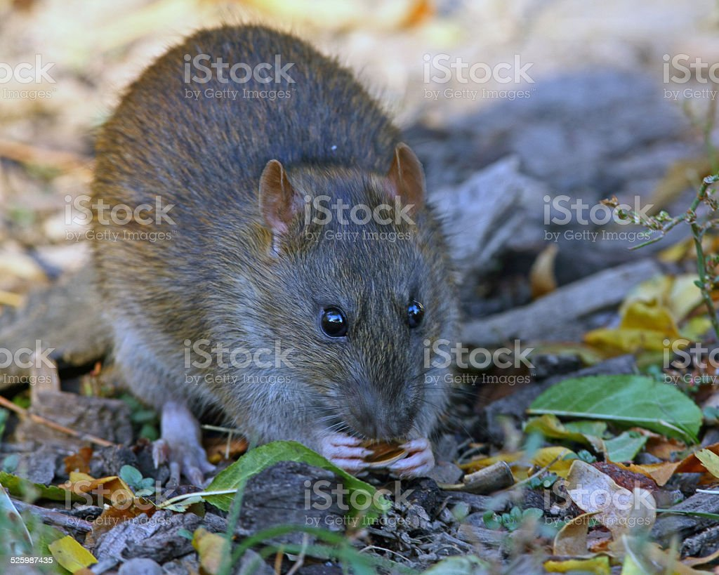 Mexican Woodrat Facing Camera stock photo
