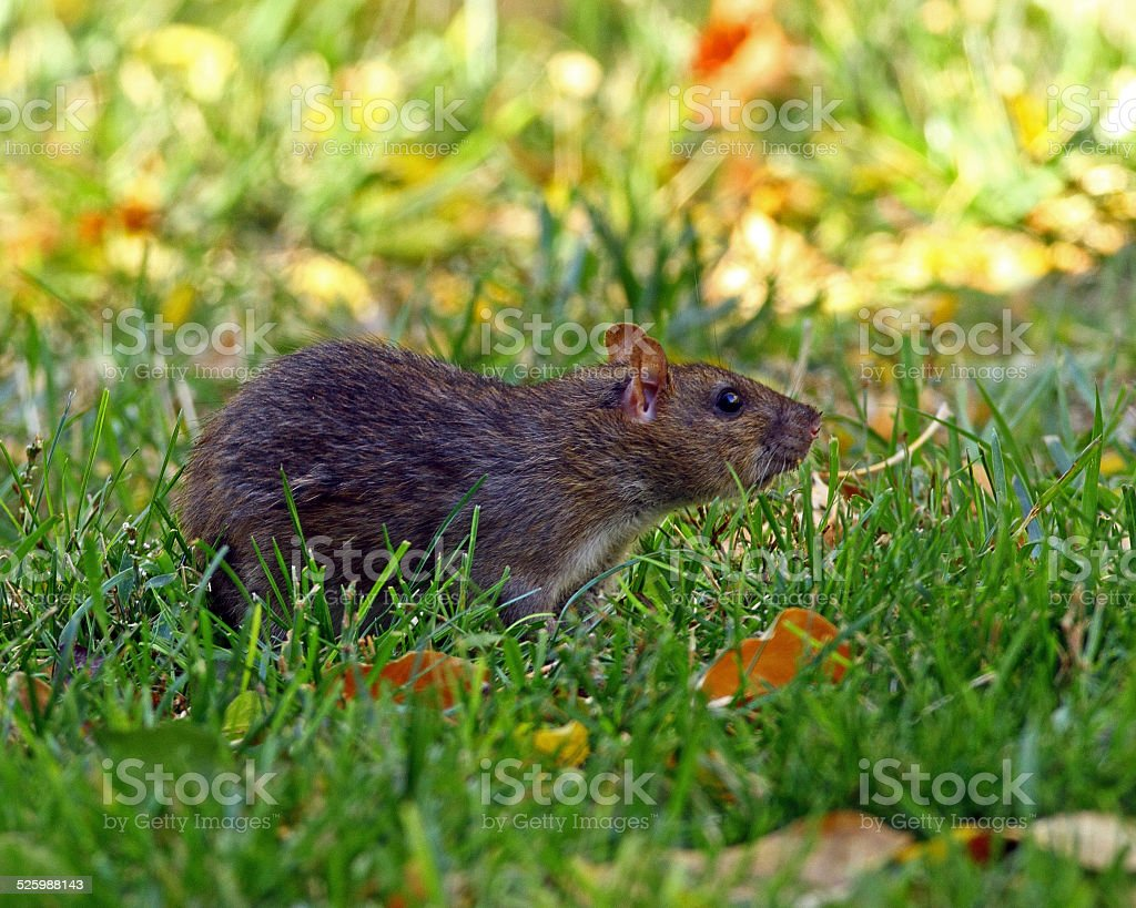 Mexican Woodrat in Grass stock photo