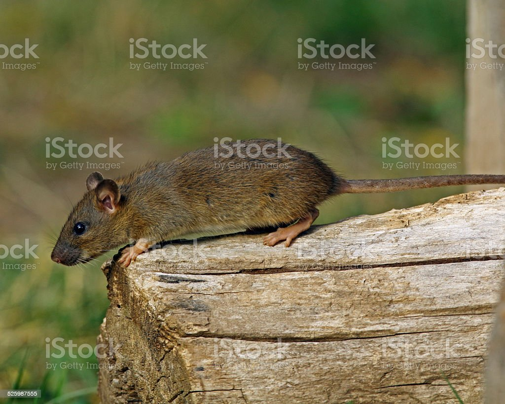 Mexican Woodrat On Log stock photo