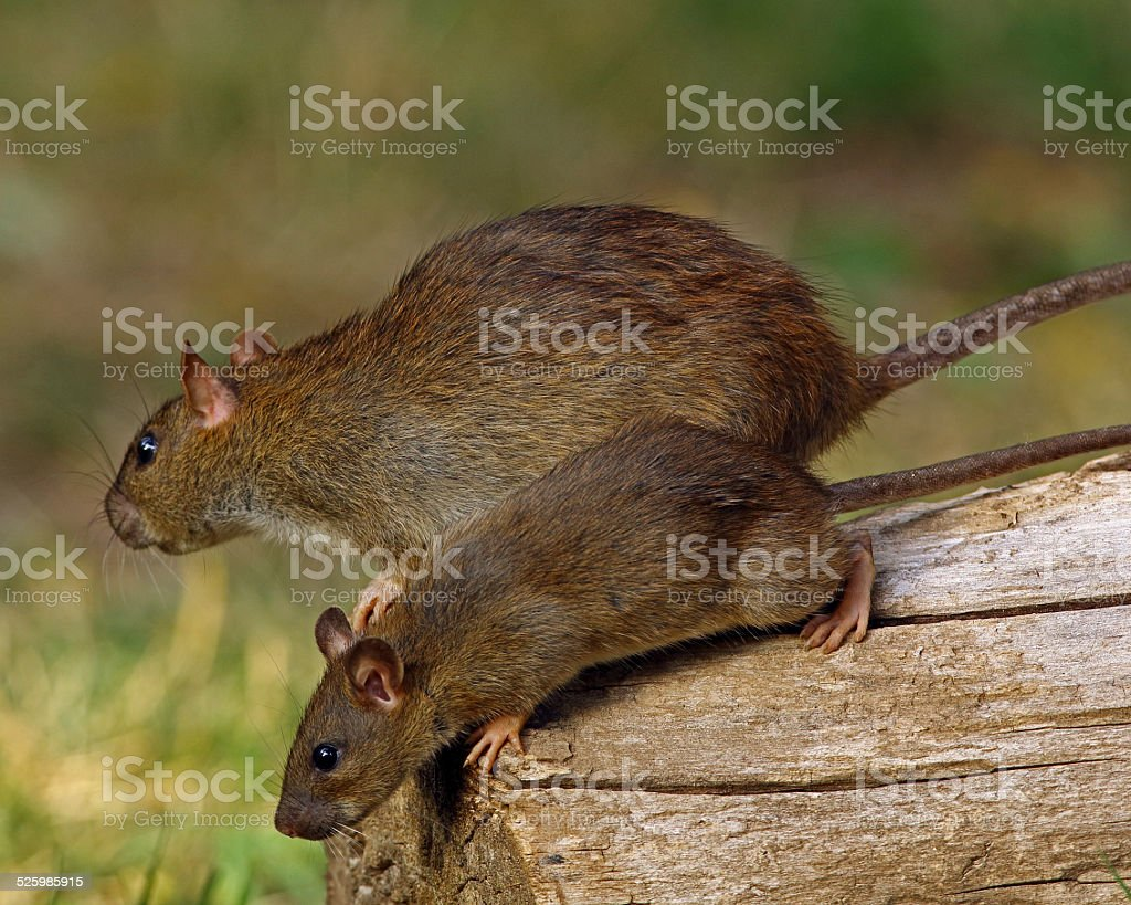 Mexican Woodrat-Adult and Juvenile stock photo