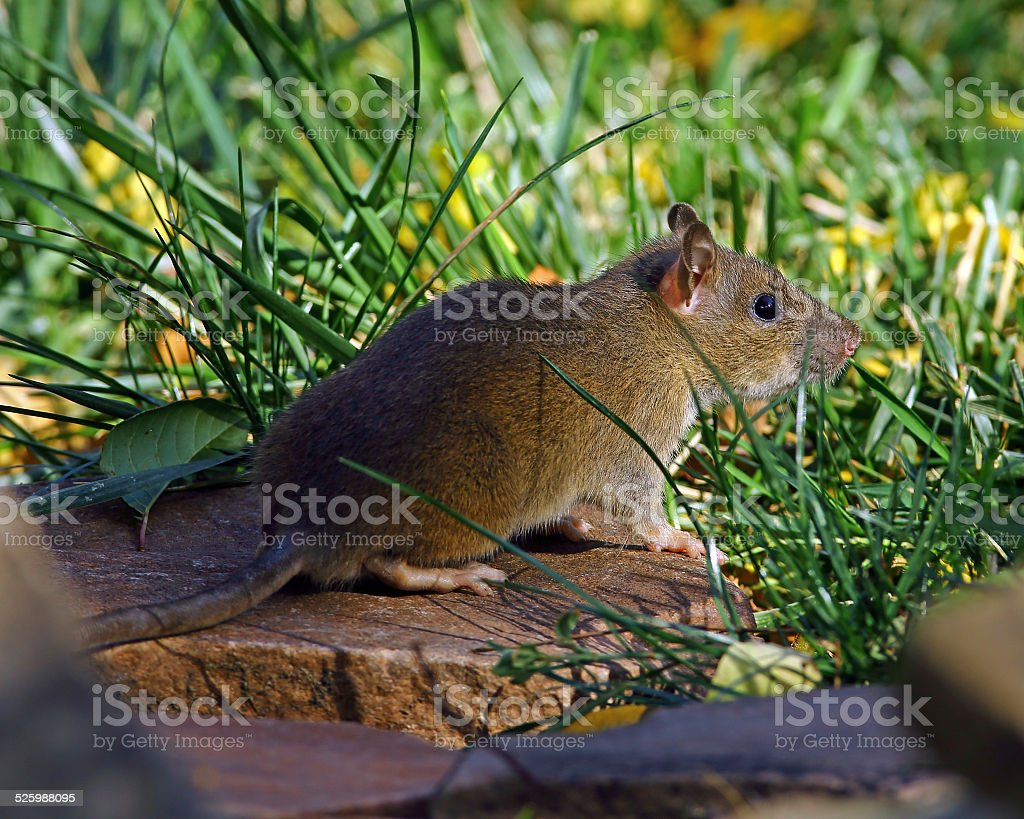 Mexican Woodrat-Horizontal Format stock photo