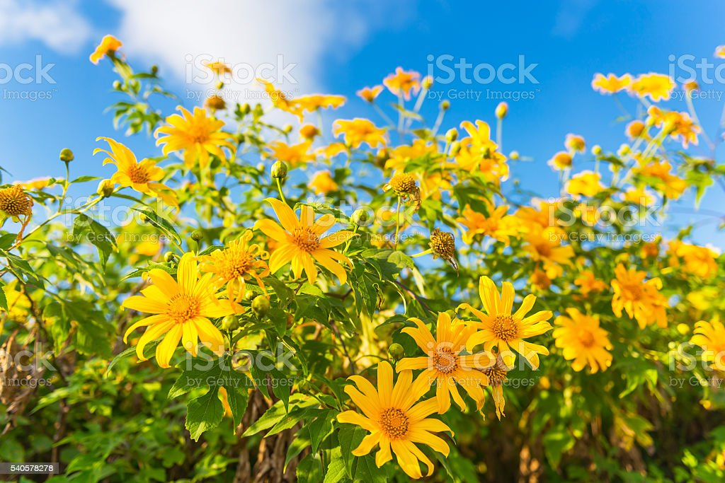 Mexico sunflower stock photo