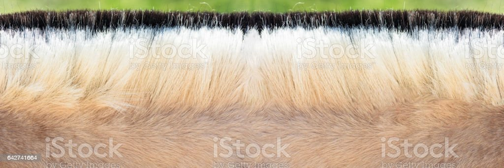 Mähne von einem Pony. stock photo