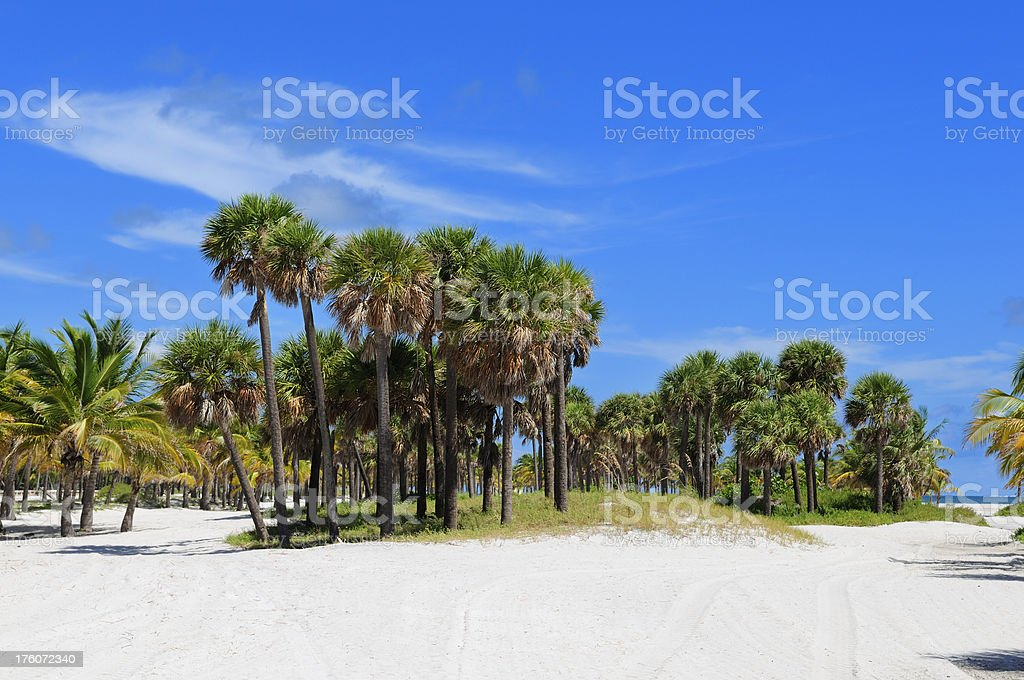 miami beach coconut and palm trees with white sands stock photo