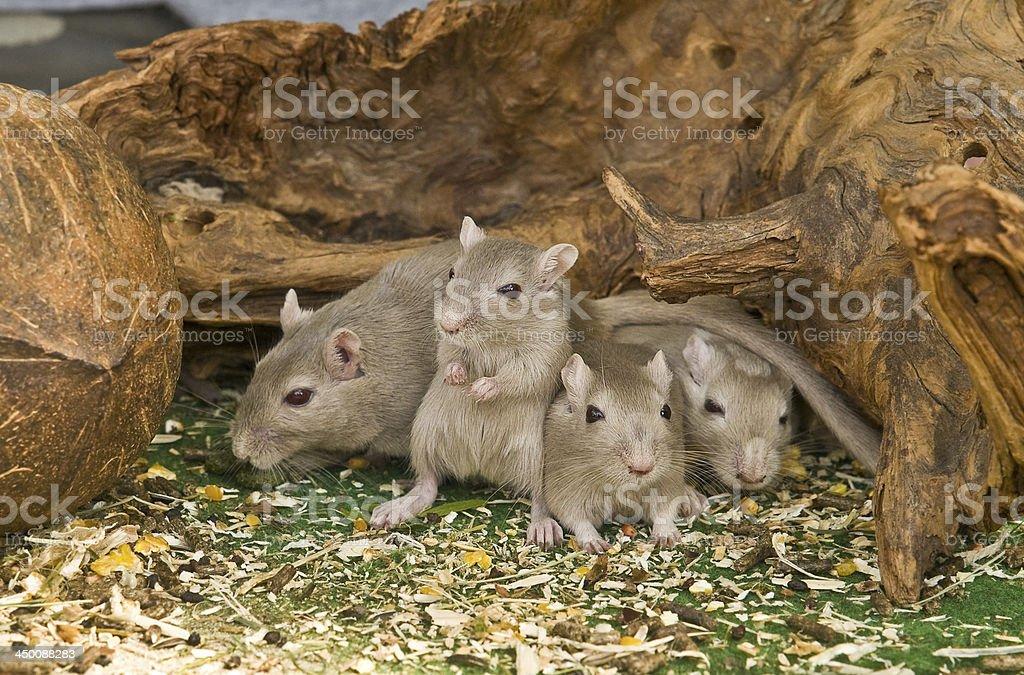 Mice - Four friends stock photo